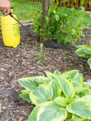 spraying weeds in mulch bed