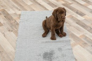 dried dog urine on carpet