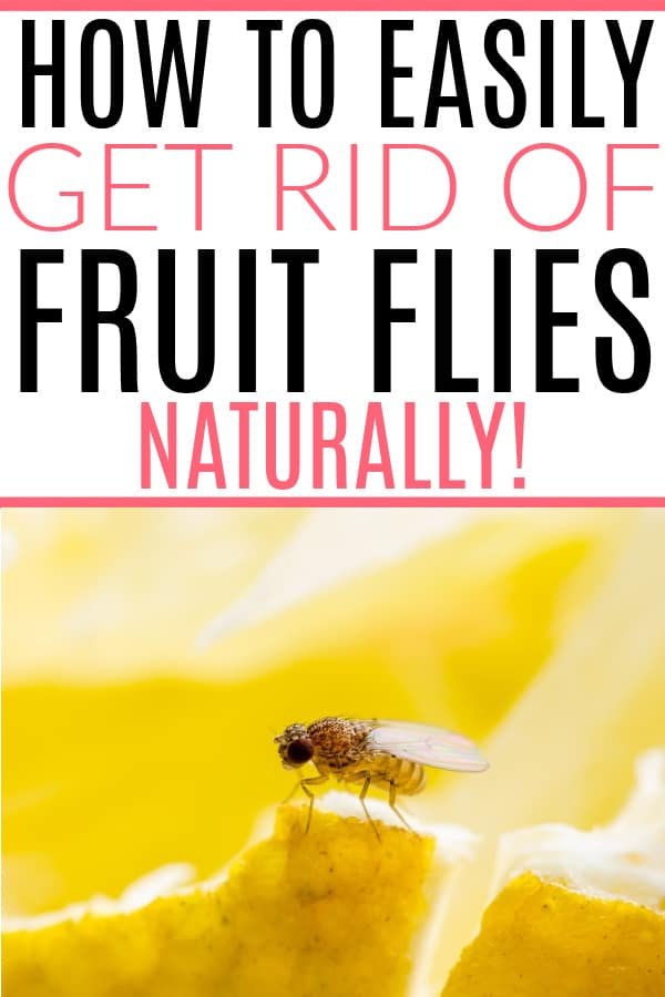 getting rid of fruit flies with alcohol